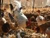 Las gallinas de la granja