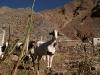 08.Cabras.Iruya