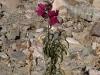 11.Flor.creciendo.en.rocas