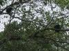 09. Monos aulladores