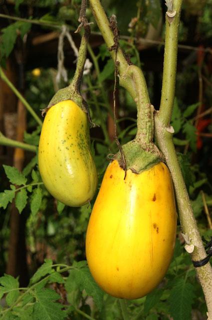 20 Berenjena amarilla