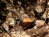 Mariposa monarca posando