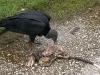 10. Zopilote comiendo iguana