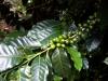 04. Planta de cafe