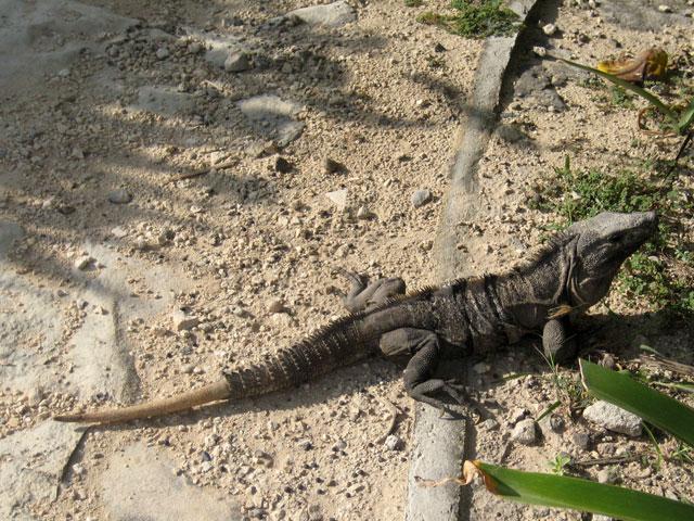 16. Iguana