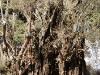 Gran olivo
